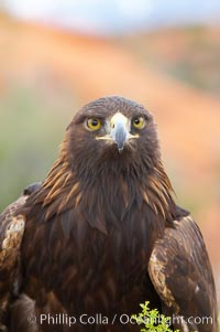 Golden eagle., Aquila chrysaetos, natural history stock photograph, photo id 12226