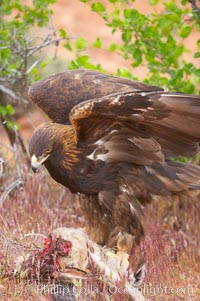 Golden eagle consumes a rabbit., Aquila chrysaetos, natural history stock photograph, photo id 12228