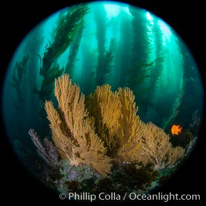 Golden gorgonian on underwater rocky reef, amid kelp forest, Catalina Island. The golden gorgonian is a filter-feeding temperate colonial species that lives on the rocky bottom at depths between 50 to 200 feet deep. Each individual polyp is a distinct animal, together they secrete calcium that forms the structure of the colony. Gorgonians are oriented at right angles to prevailing water currents to capture plankton drifting by, Macrocystis pyrifera, Muricea californica