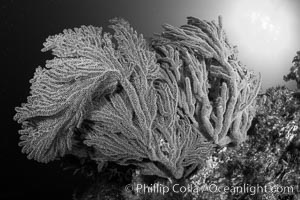 Golden gorgonian on underwater rocky reef, amid kelp forest, Catalina Island. The golden gorgonian is a filter-feeding temperate colonial species that lives on the rocky bottom at depths between 50 to 200 feet deep. Each individual polyp is a distinct animal, together they secrete calcium that forms the structure of the colony. Gorgonians are oriented at right angles to prevailing water currents to capture plankton drifting by, Muricea californica, Coronado Islands (Islas Coronado)