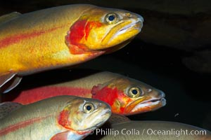 Image 14697, Golden trout., Oncorhynchus aguabonita, Phillip Colla, all rights reserved worldwide.   Keywords: animal:creature:fish:freshwater fish:golden trout:marine:nature:ocean:oncorhynchus aguabonita:oncorhynchus aguabonita whitei:oncorhynchus mykiss aguabonita:sea:teleost fish:underwater:wildlife.