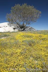 Goldfields bloom in spring, Lasthenia, Warner Springs, California
