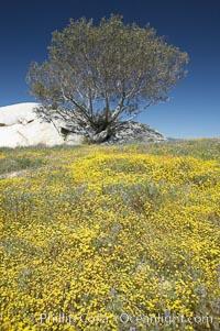 Goldfields bloom in spring, Lasthenia, Warner Springs, California