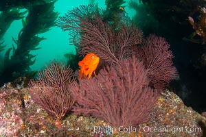 Garibaldi and gorgonian on rocky reef, below kelp forest, underwater. The red gorgonian is a filter-feeding temperate colonial species that lives on the rocky bottom at depths between 50 to 200 feet deep. Gorgonians are oriented at right angles to prevailing water currents to capture plankton drifting by. Catalina Island, California, USA