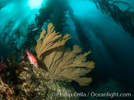 California golden gorgonian and small juvenile sheephead fishes on rocky reef, below kelp forest, underwater. The golden gorgonian is a filter-feeding temperate colonial species that lives on the rocky bottom at depths between 50 to 200 feet deep. Each individual polyp is a distinct animal, together they secrete calcium that forms the structure of the colony. Gorgonians are oriented at right angles to prevailing water currents to capture plankton drifting by, Muricea californica, San Clemente Island