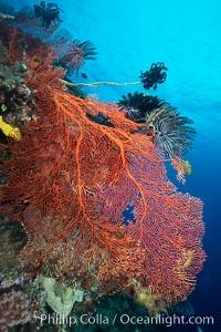 Plexauridae gorgonian Sea Fan on Pristine Coral Reef, Fiji, Crinoidea, Gorgonacea, Plexauridae, Vatu I Ra Passage, Bligh Waters, Viti Levu  Island