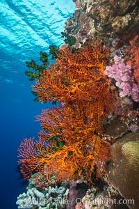 Gorgonian Sea Fans on Coral Reef, Fiji, Gorgonacea, Plexauridae, Vatu I Ra Passage, Bligh Waters, Viti Levu  Island