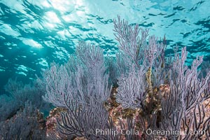 Gorgonian Sea Fans on Rocky Reef, Los Islotes, Sea of Cortez