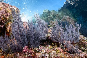 Gorgonian Sea Fans on Rocky Reef, Los Islotes, Sea of Cortez. Sea of Cortez, Baja California, Mexico, natural history stock photograph, photo id 33790