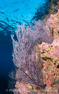 Gorgonian Sea Fans on Rocky Reef, Los Islotes, Sea of Cortez. Sea of Cortez, Baja California, Mexico, natural history stock photograph, photo id 33823
