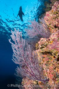 Gorgonian Sea Fans on Rocky Reef, Los Islotes, Sea of Cortez. Baja California, Mexico, natural history stock photograph, photo id 33824