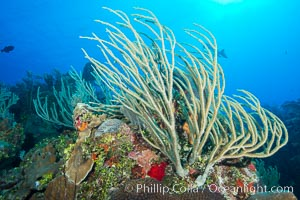 Gorgonian soft corals, Grand Cayman Island. Cayman Islands, natural history stock photograph, photo id 32056