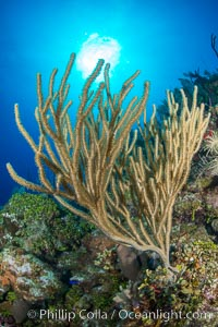 Gorgonian soft corals, Grand Cayman Island