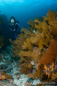 Gorgonians and invertebrate life covers a rocky reef, Sea of Cortez, Mexico