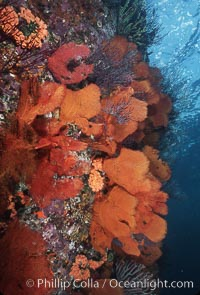 Gorgonians cover an undersea wall, Catalina Island