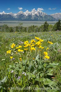 Wildflowers on Shadow Mountain with the Teton Range visible in the distance. Grand Teton National Park, Wyoming, USA, natural history stock photograph, photo id 13021