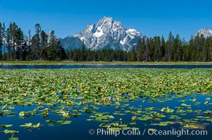Lilypads cover Heron Pond, Mount Moran in the background, Grand Teton National Park, Wyoming