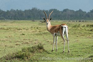 Grant's Gazelle, Maasai Mara, Kenya. Maasai Mara National Reserve, Nanger granti, natural history stock photograph, photo id 29970