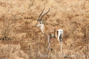 Grant's Gazelle, Meru National Park, Kenya. Meru National Park, Kenya, Nanger granti, natural history stock photograph, photo id 29715