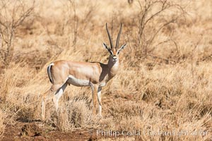 Grant's Gazelle, Meru National Park, Kenya., Nanger granti, natural history stock photograph, photo id 29716