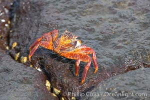 Sally lightfoot crab on volcanic rocks, Punta Albemarle, Grapsus grapsus, Isabella Island