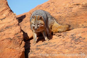 Gray fox.  Gray foxes are found in deciduous woodlands, but are occasionally seen in old fields foraging for fruits and insects. Gray foxes resemble small, gracile dogs with bushy tails. They are distinguished from most other canids by their grizzled upperparts, buff neck and black-tipped tail, Urocyon cinereoargenteus