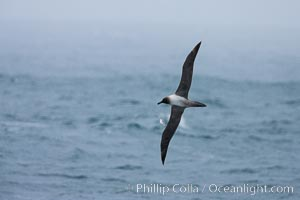 Gray-headed albatross, in flight, Thalassarche chrysostoma, Scotia Sea