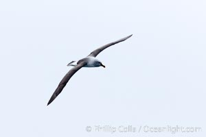 Gray-headed albatross, in flight, Thalassarche chrysostoma