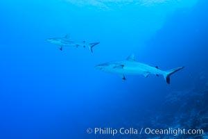 Gray reef sharks, Nigali Pass, Fiji, Nigali Passage, Gau Island, Lomaiviti Archipelago