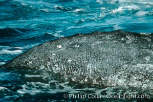 Gray whale, spine knuckle detail and characteristic skin mottling. Monterey, California, USA, Eschrichtius robustus, natural history stock photograph, photo id 01180