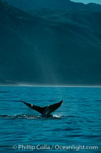 Gray whale, Eschrichtius robustus, Big Sur, California