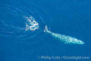 Gray whale diving below the ocean surface, leaving a footprint in its wake.  Aerial photo, Eschrichtius robustus, Encinitas, California