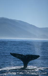 Gray whale, Eschrichtius robustus, Big Sur, California