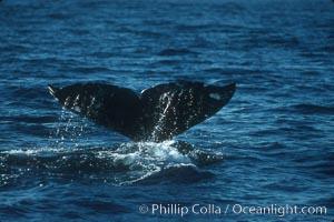 Gray whale fluke, Eschrichtius robustus, Big Sur, California