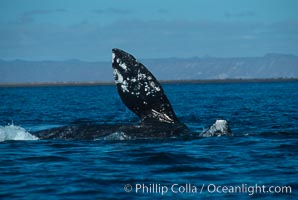 Courting gray whales, Laguna San Ignacio, Eschrichtius robustus, San Ignacio Lagoon