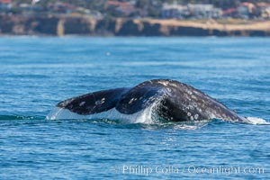 Gray whale raising fluke before diving, on southern migration to calving lagoons in Baja. San Diego, California, USA, natural history stock photograph, photo id 34231