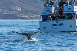 Gray whale raising fluke before diving, on southern migration to calving lagoons in Baja. San Diego, California, USA, natural history stock photograph, photo id 34233