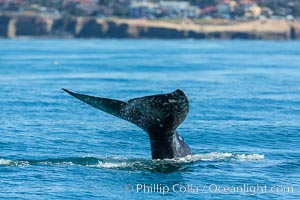 Gray whale raising fluke before diving, on southern migration to calving lagoons in Baja. San Diego, California, USA, natural history stock photograph, photo id 34238