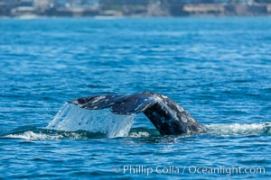 Gray whale raising fluke before diving, on southern migration to calving lagoons in Baja. San Diego, California, USA, natural history stock photograph, photo id 34240