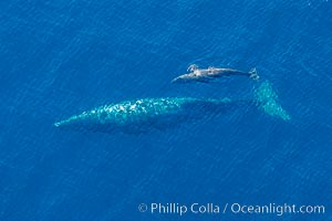 Aerial photo of gray whale calf and mother. This baby gray whale was born during the southern migration, far to the north of the Mexican lagoons of Baja California where most gray whale births take place. San Clemente, California, USA, Eschrichtius robustus, natural history stock photograph, photo id 29009