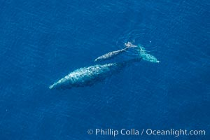 Aerial photo of gray whale calf and mother. This baby gray whale was born during the southern migration, far to the north of the Mexican lagoons of Baja California where most gray whale births take place, Eschrichtius robustus, San Clemente