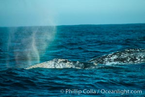 Gray whale, rainbow blow, Eschrichtius robustus, Monterey, California