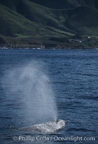 Gray whale, blowing at surface, Eschrichtius robustus, Big Sur, California