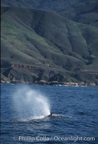 Gray whale, blowing at surface. Big Sur, California, USA, Eschrichtius robustus, natural history stock photograph, photo id 05777
