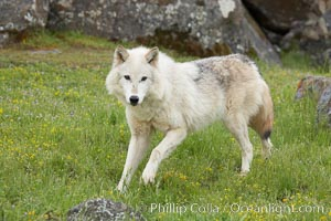 Gray wolf, Sierra Nevada foothills, Mariposa, California., Canis lupus, natural history stock photograph, photo id 16035