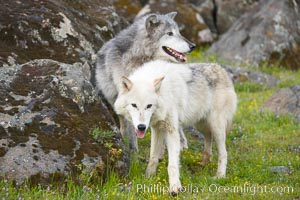 Gray wolf, Sierra Nevada foothills, Mariposa, California., Canis lupus, natural history stock photograph, photo id 16044