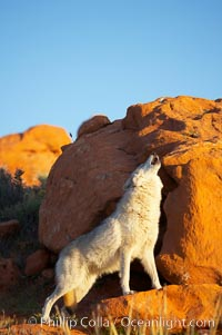 Gray wolf howling., Canis lupus, natural history stock photograph, photo id 12417