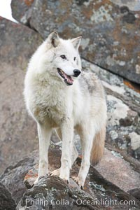 Gray wolf, Sierra Nevada foothills, Mariposa, California, Canis lupus