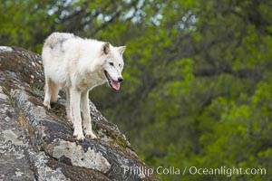 Gray wolf, Sierra Nevada foothills, Mariposa, California., Canis lupus, natural history stock photograph, photo id 16033