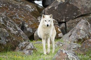 Gray wolf, Sierra Nevada foothills, Mariposa, California., Canis lupus, natural history stock photograph, photo id 16036